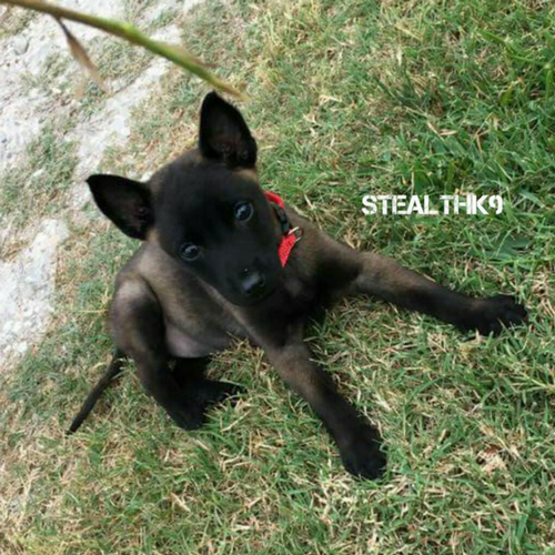 Texas Stealth K9 Kennel Club]